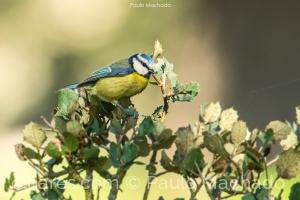 Animais/Chapim-azul (Cyanistes caeruleus)