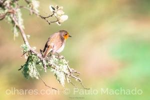 Animais/Pisco-de-peito-ruivo Erithacus rubecula