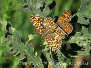 Paisagem Natural/Melitaea phoebe occitania (Fritilária-Dos-Lóios)
