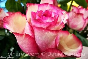 /A rosa que te dei...