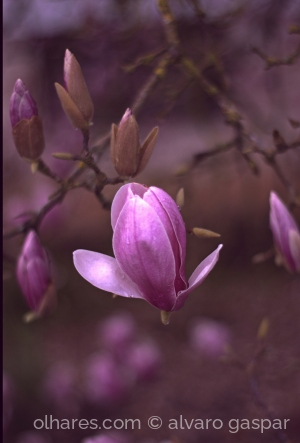 /Flores de Magnólia.