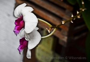 Macro/orquídea...
