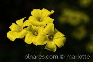Macro/amarelas