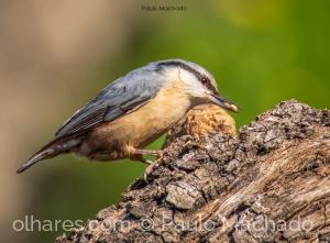 Animais/Trepadeira-azul (Sitta europaea)