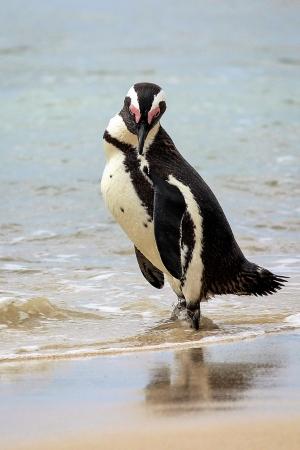 /Pinguim Africano em pose para a foto!!!