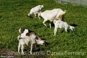 Animais/A cabra e seus quatro filhos