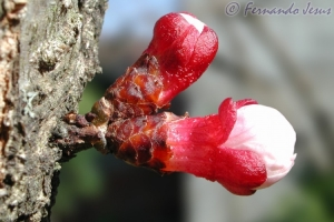 Macro/Flor da macieira