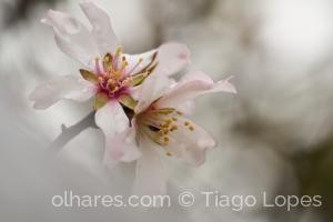 Macro/Flor de amendoeira