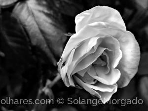Macro/As primeiras rosas