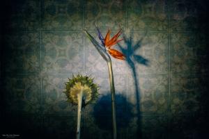 Abstrato/Strelitzia, the Singer