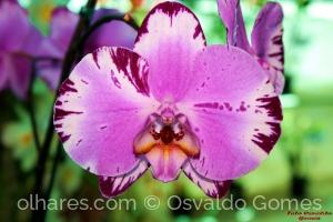 /Phaleonopsis