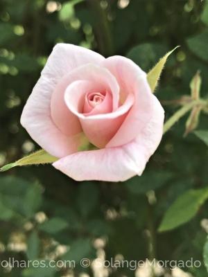 Macro/Rosa de Santa Teresinha