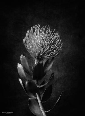 /Leucospermum patersonii