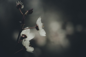 Macro/amendoeira em flor