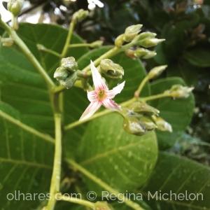 Macro/Flor de cajueiro