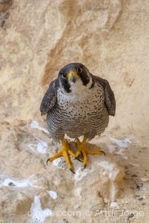/Falcão Peregrino (Falco peregrinus)