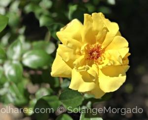 Macro/Uma rosa que é quase um sol