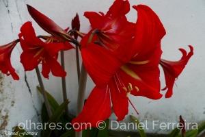 /Amarilis vermelho