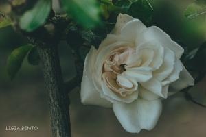 Paisagem Natural/a roseira