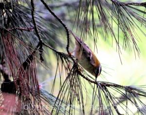 Animais/ Estrelinha-de-cabeça-listada (Regulus ignicapilla