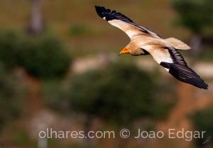 Animais/Abutre-do-egipto ou Britango (Neophron percnopteru