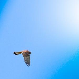 Animais/Common kestrel (Peneireiro-vulgar)