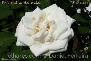 /Uma rosa para todas as mães (Ler)
