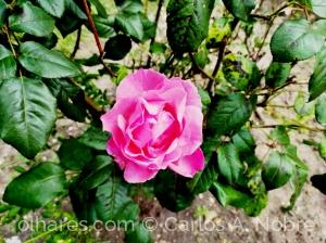 Macro/Uma rosa para todas as mães.