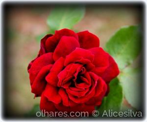 Macro/Rosa vermelha........