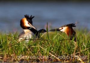 Animais/Mergulhão-de-crista (Podiceps cristatus)