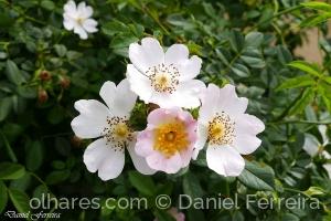 /Pequenas rosas