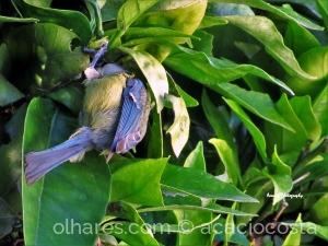 Animais/ Chapim-azul ( Cyanistes caeruleus)