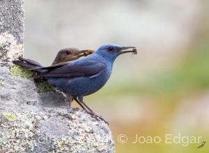 Animais/Melro-azul (Monticola solitarius)