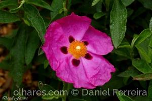 /Flor de Esteva (Cor de rosa)