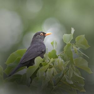 Animais/Common blackbird