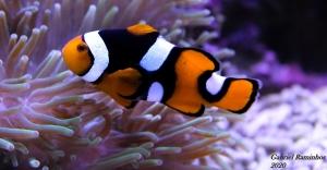 /Nemo