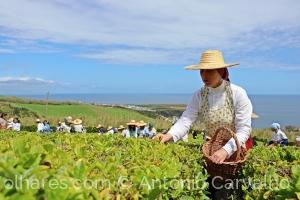 Gentes e Locais/Apanha do chá (c/desc)