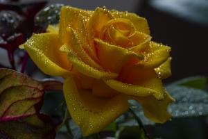 Outros/Rosa amarela