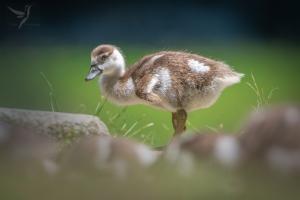 Animais/Baby ganso-do-egipto (Alopochen aegyptiaca)