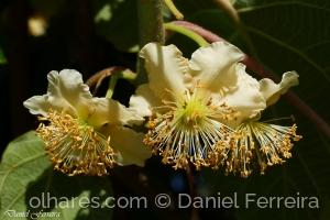 /Flor de Kiwi