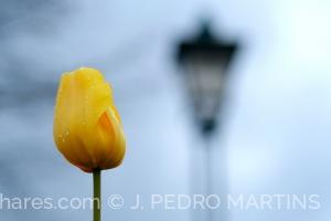 Paisagem Urbana/Tulipa amarela na via pública