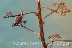 Animais/Falcão-peregrino (Falco peregrinus)