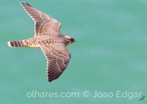 Animais/Falcão-peregrino (Falco peregrinus) juvenil