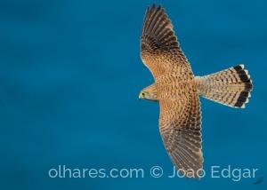 Animais/Peneireiro-vulgar (Falco tinnunculus) fêmea