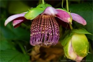 /Flor de maracujá (le)