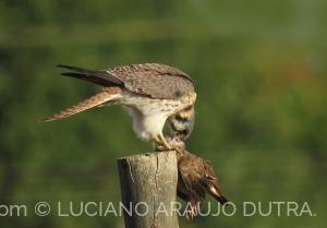 Animais/Quiri Quiri