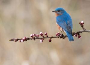 /Mountain Bluebird