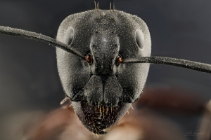 Macro/ANT