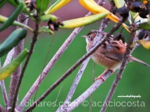 Animais/ Fuinha-dos-juncos ( Cisticola juncidis).