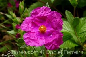 /Flor de Esteva